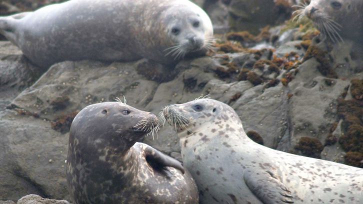 group of seals ons rocks
