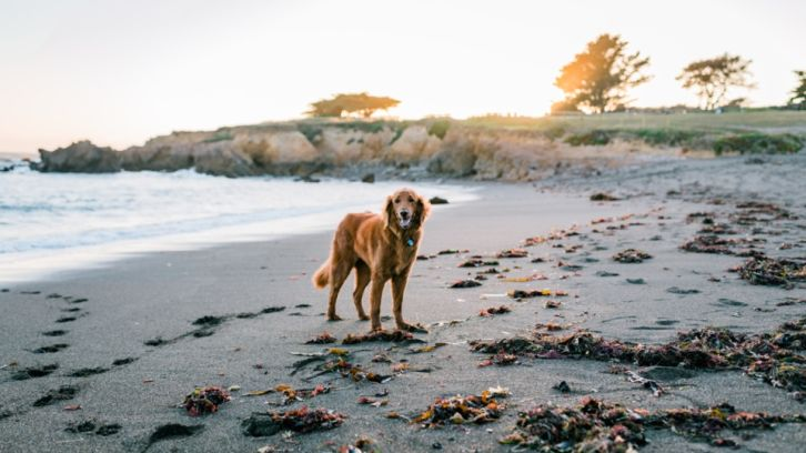 dog on moonstone beach